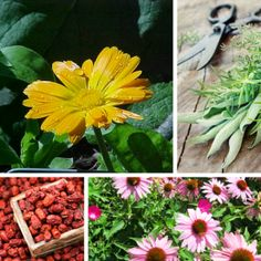 Heart of Herbs Certified Herbalist Certification Program