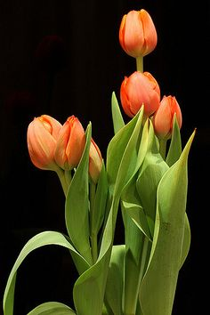 Shade Garden Plants, Tulips Garden, Tulips Flowers, Fall Flowers, Flower Vases, Flower Pots, Happy Birthday Flower, Tulip Painting, Plant Fungus