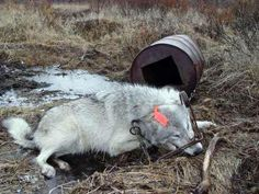 BAN TRAPPING: http://www.antifursocietyinternational.org/petitions/fur-trapping-in-usa/petition.php