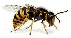 Ichneumonidae - Pesquisa Google