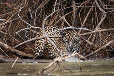 Splash! Trying to hunt a caiman... by Alex_JoshP, via Flickr