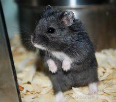 Fancy Russian Dwarf Hamster Gray Black russian campbells dwarf