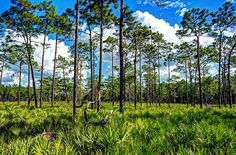 Located just outside Sebring, Florida, the park contains a vast swamp of old-growth bald cypress trees, some of which are said to be more than a thousand years old. American Alligators and white-tailed deer roam the grounds, and the rare Florida panther is seen on occasion. photo- Chuck Oliver  www.liberaitngdivinesconsciousness.com