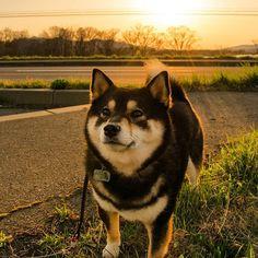 なんだか肌寒いワンね ・ アコには適温ワンよ明日は晴れるかな ・ #夕陽 #ニセコ #ウマウマちょうだい 北海道の柴犬お仲間タグ#柴北会、をタグ付けして投稿しましょう❗️(報告等いりませんのでご自由にどうぞー) #shiba #shibastagram #adorable #love #日本犬#shibainu#dog#柴犬#instagramjapan#kuroshiba#socute#like4like#わんだフォ#札幌#ふわもこ部#しばいぬ #doge#dogstagram#sapporo