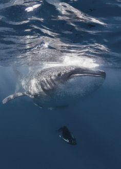 Belly Checking by Ken Kiefer Great Whale, Wildlife Nature, World's Biggest, Sea Creatures, Diversity, Dolphins, Shark, Photo Galleries, Horses