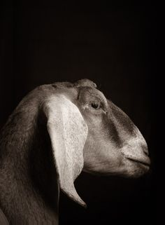 Striking Portraits Reveal The Untold Glamorous Lives Of Farm Animals - Country Living