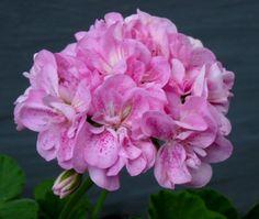 double_pink_birds_egg_blomma.jpg (564×476)