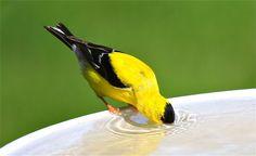Photo by November Gale. Goldfinch, Drinking Water, Birds, Orphan, Nature, November, Animals, American, November Born