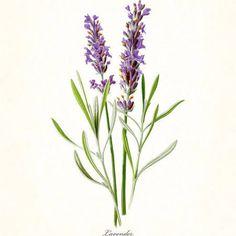 vintage botanical prints of lavender - Google Search