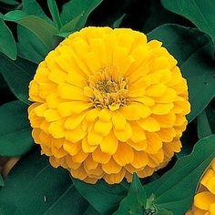 Dreamland Yellow Zinnia - Annual flower