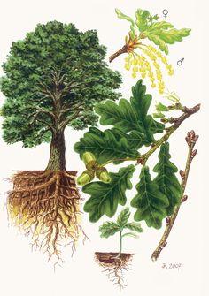 Dub letní (Křemelák) - Tipy do lesa - Vojenské lesy a statky dětem Oak Leaf Tattoos, Illustration Botanique, Natural Structures, Garden Trees, Botanical Prints, Science, Drawings, Tree Day, Woodland Forest
