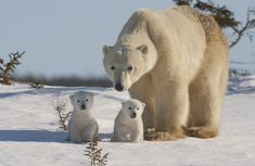 "See Polar Bears in the Arctic... What an incredible series of photographs by David ""Baz"" Jenkins"