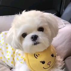 maltese dog with Cute Small Animals, Cute Small Dogs, Cute Baby Dogs, Cute Little Puppies, Cute Dogs And Puppies, Cute Funny Animals, Cute Baby Animals, Doggies, Maltese Haircut