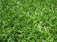 Technically a grass, fescue has one distinct advantage over species traditionally planted in yards—you barely have to mow it. With growth, fescue blades fold over on themselves, creating a lovely sea of green that actually ripples in the wind. For a shorter lawn, mowing once per month is sufficient (normal grass often needs weekly mowing)
