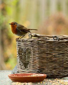 Roodborstje. Vandaag zag ik er 1 bij ons in de tuin. Kleine diertje maakt me blij.