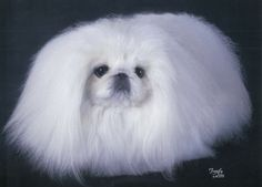 Bogart who is one of the best looking white Pekingese of all time. What a face!