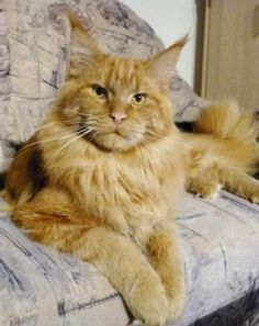 Georgetowns Shubacca Maine Coon cat
