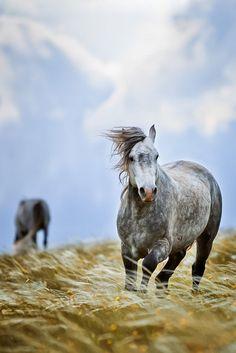 Cavalo Vedranvidak