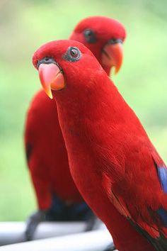 Moluccan Lory - Tahiti