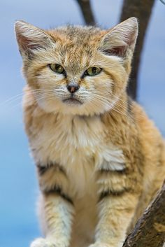 "Sand cat (Felis margarita). They are categorized as ""near threatened"" under IUCN."