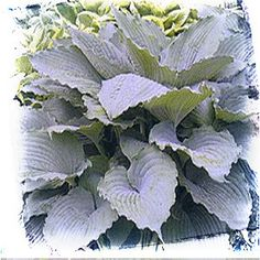 """Hosta 'Queen of the Seas' (large). Incredible hosta with lightly twisted, pointed, rippled & pie crusted powder blue leaves. Best serrated pie crust leafed hosta. White flowers. Needs protection from afternoon sun. 48x24"""""""