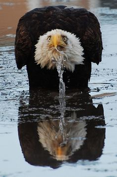 Bald Eagle drinking water. Interesting fact I recently learned about bald eagles, is that the females are actually bigger than the males. (frequently by as much as 25% total body size) Also neat is that while northern birds roosting are migratory, the south (typically mexico) gets to enjoy their population all year round. :)