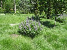 Prairie dropseed and Baptisias at Chanticleer Garden.