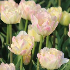 Tulip 'Creme Upstar'