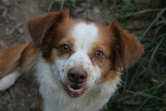 Cinnamon is an adoptable Spaniel Dog in Bloomington, IN. All dogs from the Bloomington Animal Shelter are microchipped, have their first round of vaccinations, including de-worming, are tested for hea...