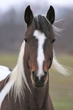 Horse photography - Paint/Pinto Equine