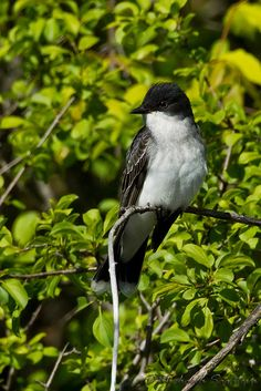 Eastern  Kingbird by ~ Michaela Sagatova ~, via Flickr