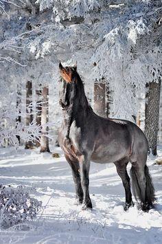 Ein Pferd in einem schneebedeckten Wald. #APASSIONATA