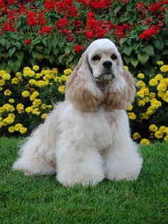 Buff color Cocker Spaniel Show Dog.  This color is called ASCOB (any solid color other than black).