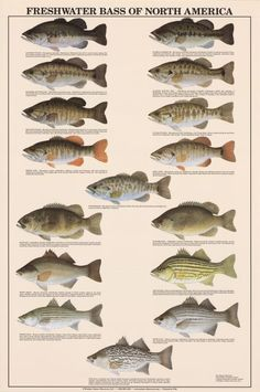 Freshwater Bass of North America Identification Chart | Freshwater Fish Charts