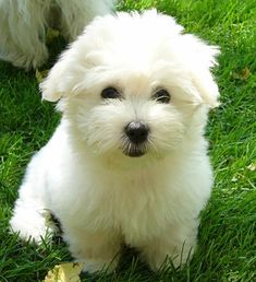 beautiful Coton de Tulear puppy!