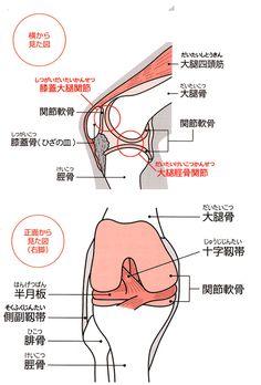 解剖図-ひざ関節を構成する組織