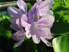 #Eichhorniacrassipes #flower   #nature