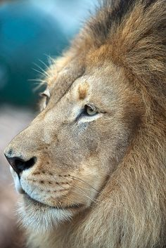 Male Lion (I think this might be the one!)