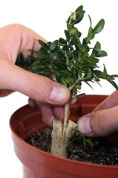 Top graft on a bonsai Bonsai Pruning, Bonsai Soil, Succulent Bonsai, Bonsai Plants, Bonsai Garden, Planting Succulents, Cactus Plants, Buy Bonsai Tree, Bonsai Tree Care