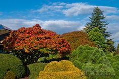 Acer shirasawanum 'Aureum' in the autumn garden.