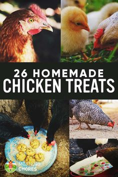 Gardening Organic 26 Homemade Healthy Chicken Treats Recipes Your Chickens Will Love - Want to give healthy snacks to your chickens but don't want to spend bazillion money on it? Try these 26 homemade chicken treats, they'll love it. Portable Chicken Coop, Best Chicken Coop, Backyard Chicken Coops, Chicken Coop Plans, Building A Chicken Coop, Chickens Backyard, Chicken Tractors, Chicken Garden, Backyard Farming
