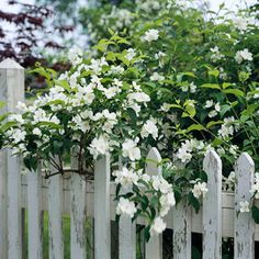 Galahad mock orange                                                    (Philadelphus 'Galahad') produces small, glossy leaves and medium-sized fragrant white flowers on a plant that grows 8 feet tall and wide. Zones 4-7