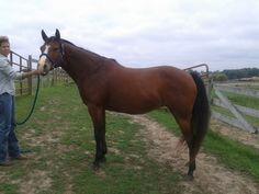 Beautiful Quater Horse Mare