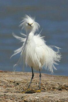 Wind blown egret