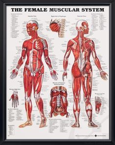 Muscular System: Female anatomy poster shows anterior and posterior views of the human female muscles. Muscles chart for doctors and nurses.