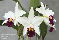 Potinara Morning Love 'Nice Day' | Orchids Forum