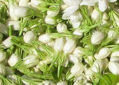 Récolte de fleurs de jasmin encore en boutons.