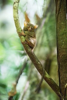 Tarsier by Michal Jirouš on 500px