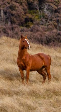 Wild Kaimanawa horse