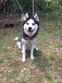 Meet one of our newest #rescued #Siberian #Husky!  Bella Blue is a beautiful, well behaved girl who loves traveling in the car. She gets along with other #dogs and appears to be #cat friendly, although caution is always advised. Bella Blue also loves to play with other dogs or #cats.  Bella Blue is healthy, microchipped, heartworm negative, spayed, and up-to-date on vaccines. See Bella Blue and other #adoptable #Huskies here:  http://www.siberrescue.com/